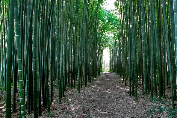 Coltivare Bamb Gigante In Italia.Il Bambu Gigante Perche Coltivarlo Anche In Italia